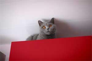 Britų Trumpaplaukiai - Lelijiniai Kačiukai Su Dokumentais