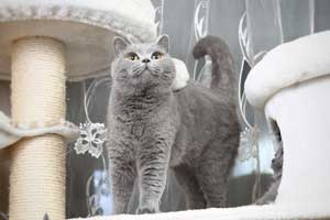 Cats Gitti British Blue Girl - 11