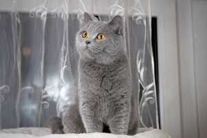 Cats Gitti British Blue Girl - 9