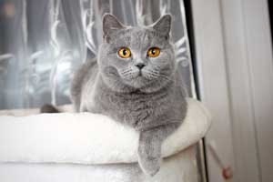 Cats Gitti British Blue Girl - 8