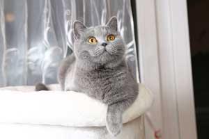 Britų Trumpaplaukiai - Kačiukai Su Kilmės Dokumentais
