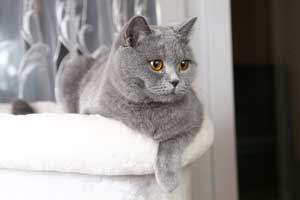 Cats Gitti British Blue Girl - 6