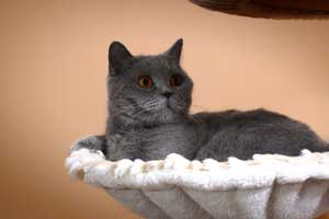 Cats Gitti Blue British Shorthair Resting - 4