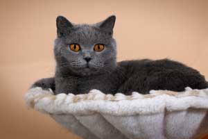 dokumentuoti britu trumpaplaukiai kačiukai melyni pilki ir lelijiniai