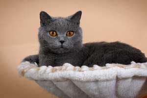 Cats Gitti Britu Trumpaplauke Kate Pozuoja - 3