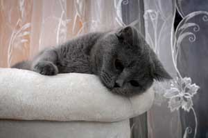 Cats Gitti Sad British Shorthair Female - 1