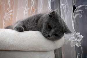 veisliniai kačiukai