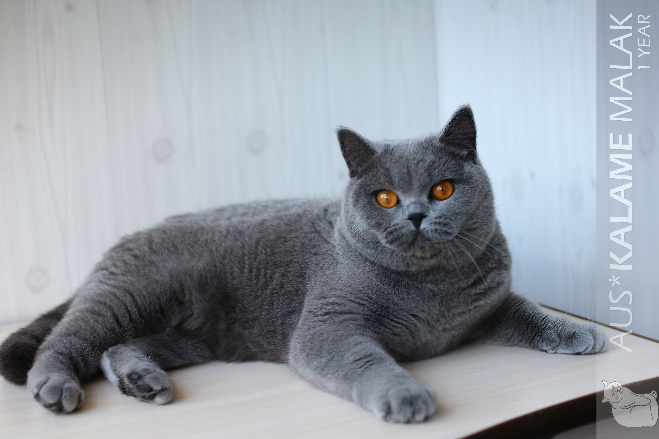 Cats Malak Impressive Australian British Shorthair 6
