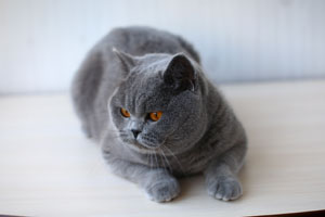 Cats Malak Cheecky British Shorthair - 7