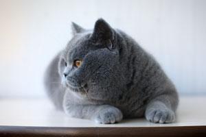 Cats Malak Britu Trumpaplauke Kate - 6