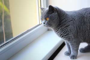 Cats Malak Blue British Shorthair Female - 4