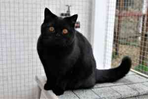 Cats Nesca Juodos Spalvos Britu Trumpaplauke Kate - 9