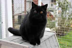 Cats Nesca Juoda Britu Trumpaplauke Mergaite - 8