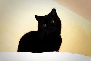 Cats Nesca Britanskaya Korotkosherstnaya Chernaya Koshka - 5