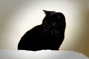 Cats Nesca British Shorthair Black - 4