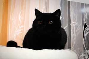 Cats Nesca Chernaja Brititanskaja Korotkosherstnaja Koshka - 2