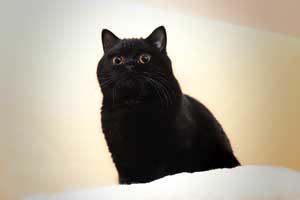 Cats Nesca Juoda Britu Trumpaplauke Mergaite - 1