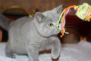 Cats Starfall British Shorthair - 4