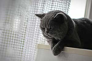 Cats Starfall British Shorthair Boy - 2
