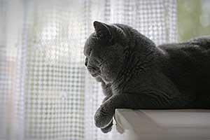 Cats Starfall Britu Trumpaplaukis Katinas - 1