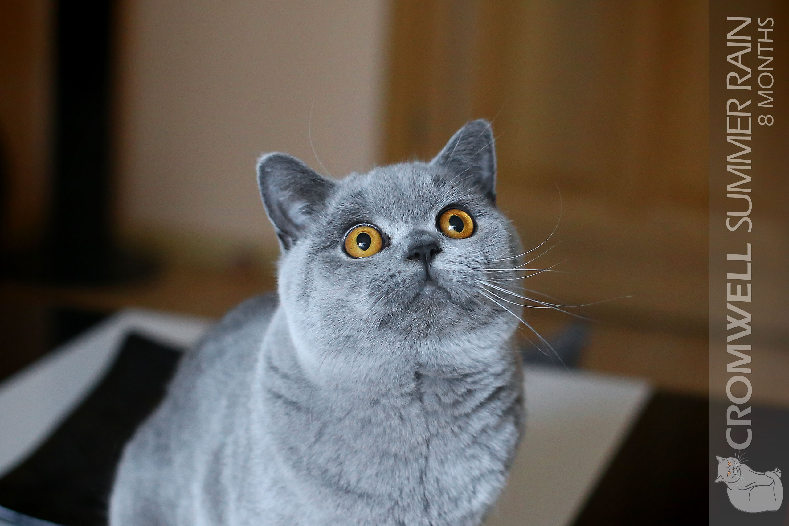 Cats Summer Blue British Shorthair 9 | Photo Gallery
