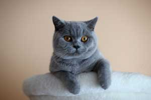 Cats Summer Bsh Blue Male - 14