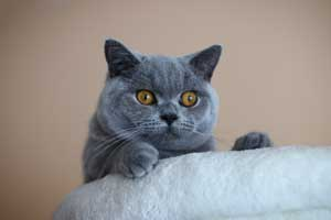 trumpaplaukiai melyni kačiukai