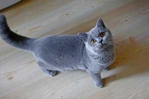 Cats Summer British Shorthair Australia - 12
