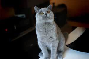 Cats Summer British Shorthair Male Cromwell - 4