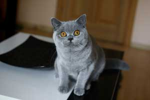 кошка британской короткошерстной породы