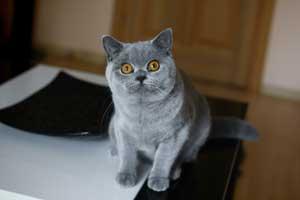 Cats Summer Britankij Korotkosherstnij Proizvoditel Cromwell - 7