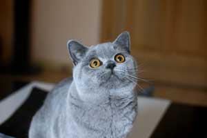 Cats Summer Blue British Shorthair - 1