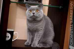 Cats Summer Trumpaplaukis Britu Katinas - 5