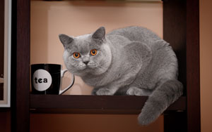 Cats Summer British Shorthair Blue Male - 1