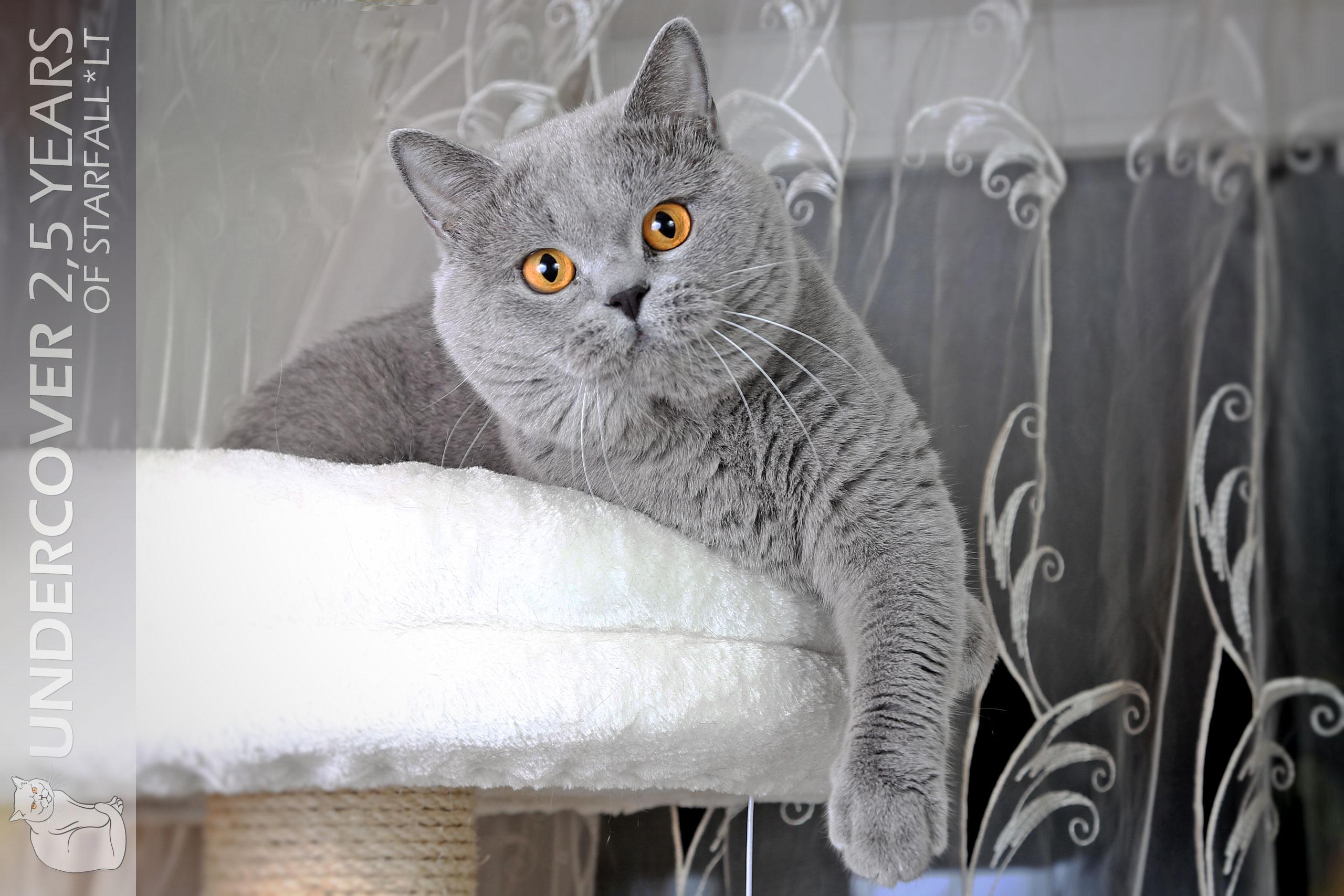 Cats Undercover British Shorthair Blue Stud 81