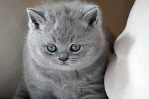Cats Undercover British Shorthair - 78
