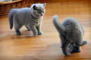Cats Undercover British Shorthair - 77