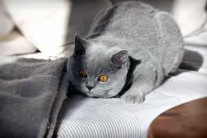 Cats Undercover British Shorthair - 75