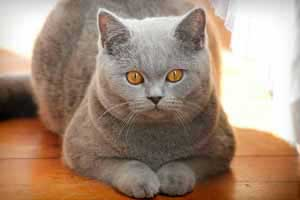 Cats Undercover British Shorthair - 74