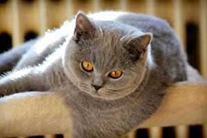Cats Undercover British Shorthair - 73