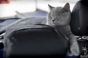 Cats Undercover British Shorthair Travel - 72