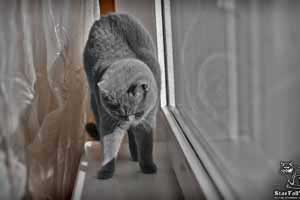 Cats Undercover British Shorthair Sun - 69