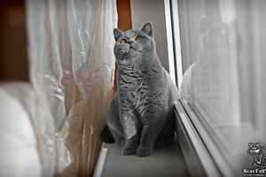 Cats Undercover British Shorthair Sun - 68