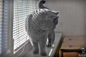 Cats Undercover British Shorthair Sun - 67