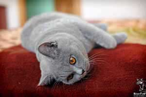 Cats Undercover British Shorthair Home - 61