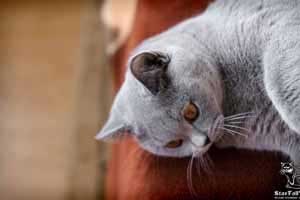 Cats Undercover British Shorthair Home - 60