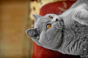 Cats Undercover British Shorthair Home - 59
