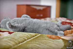 Cats Undercover British Shorthair Home - 57