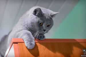 Cats Undercover British Shorthair Spinta - 54