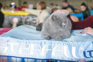 Cats Undercover British Shorthair Show - 53